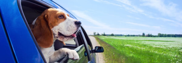 Dog hanging head out of car window